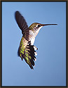 Ruby-throated Hummingbird IV